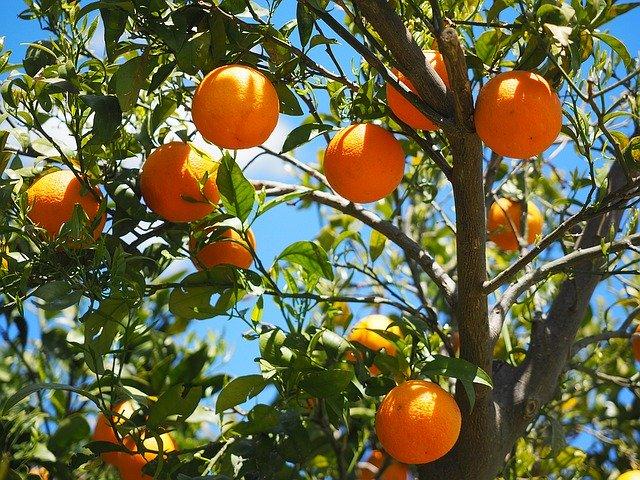 Oranges hanging on the tree
