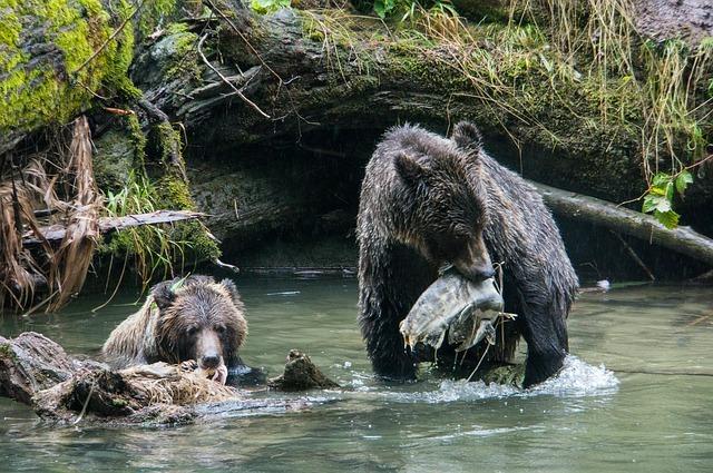 Bears love fishing