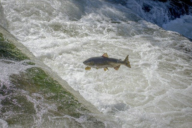 Salmon in the river