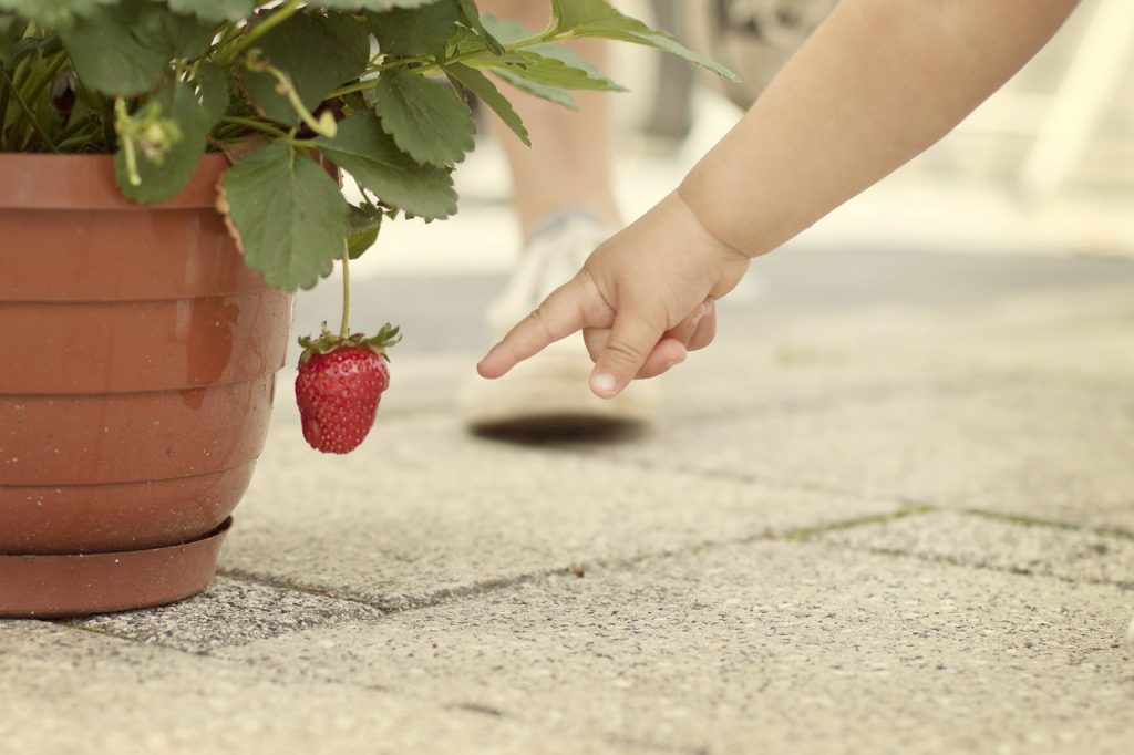 small child with strawberry plant
