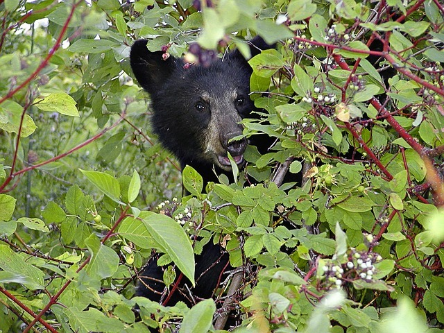 Young black bear eating berries
