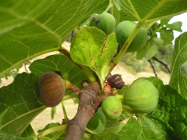 Figs growing on a tree