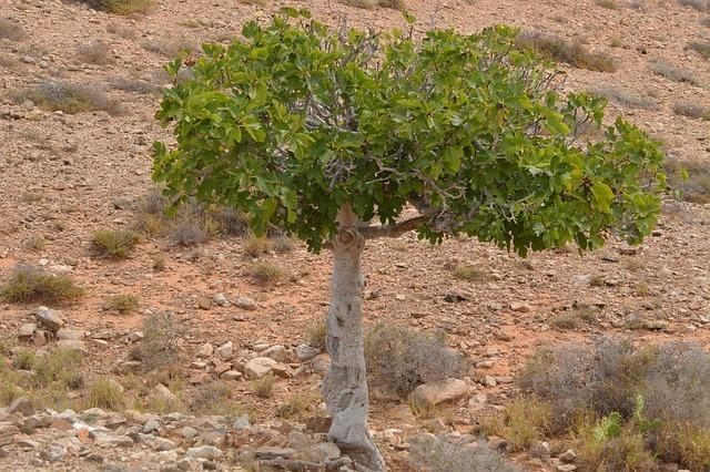 Fig tree growing on barren land