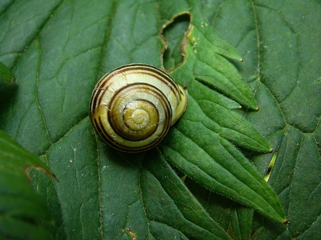 Snail eating a leaf
