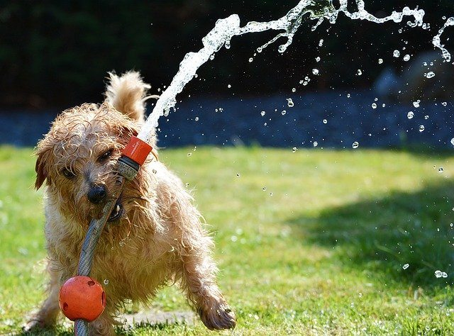 Dog playing with watering system