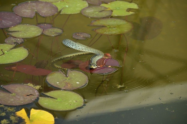 Grass Snake in a lily ponds