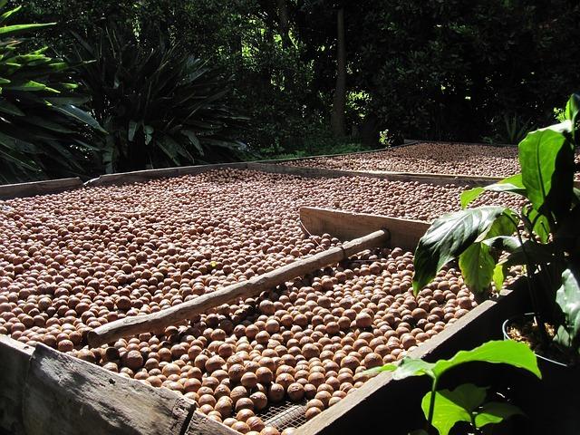 Macadamia harvest