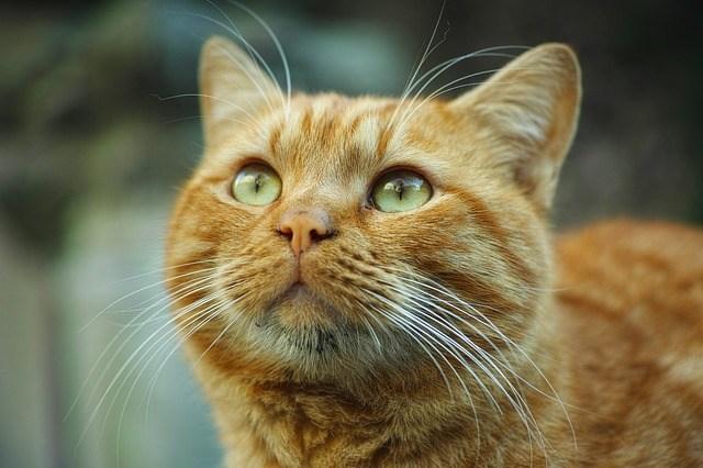 Lovely Ginger Cat