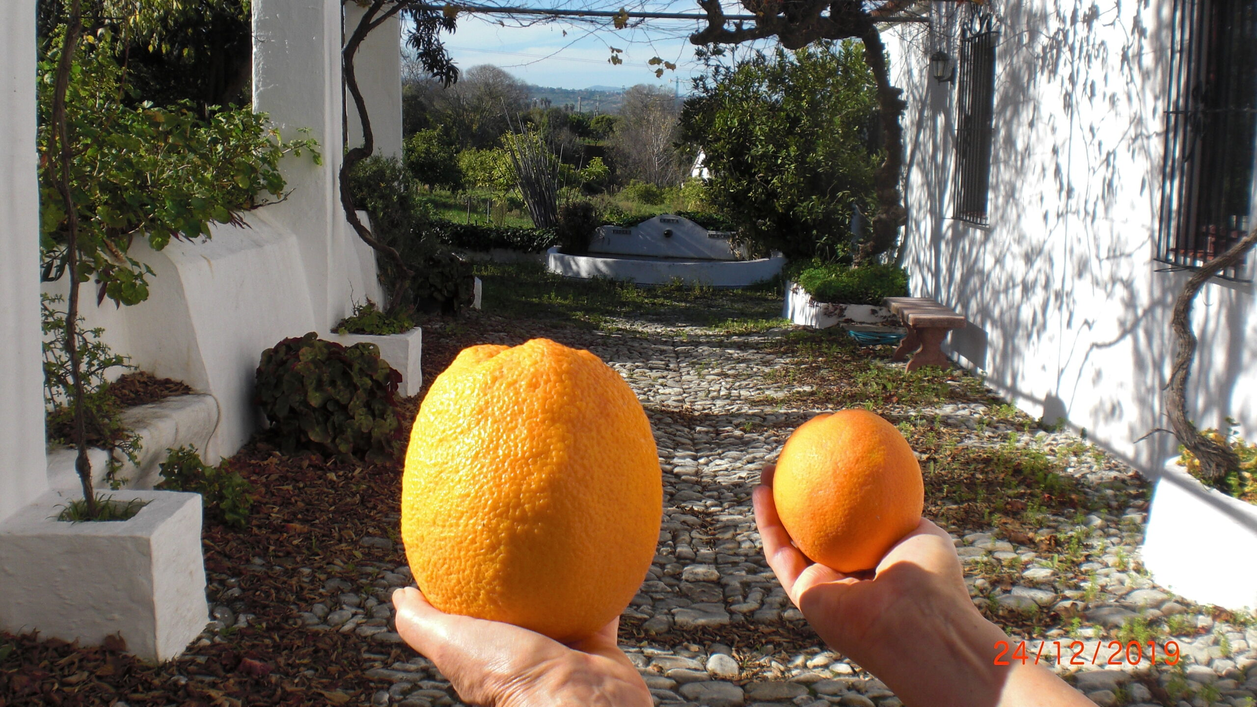 Compare between normal and a huge orange