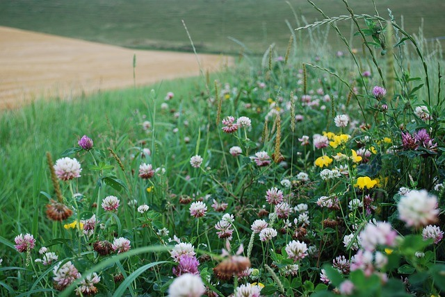 Wildflowers and Clover